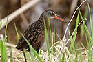 Virginia Rail - Ottawa, Ontario by Michael Cummings