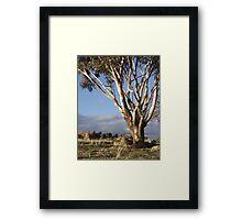 Australian Eucalyptus Framed Print