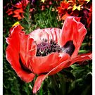 Poppy Show by Elaine Game