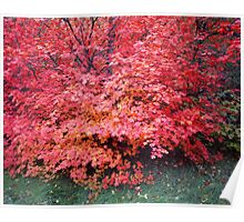 Canyon Maple Tree Poster