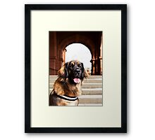 Beautiful Leonberger Dog  Framed Print