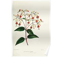 Familiar Flowers of India With Colored Plates, Lena Lowis 0057 Clerodendron Inerme Poster