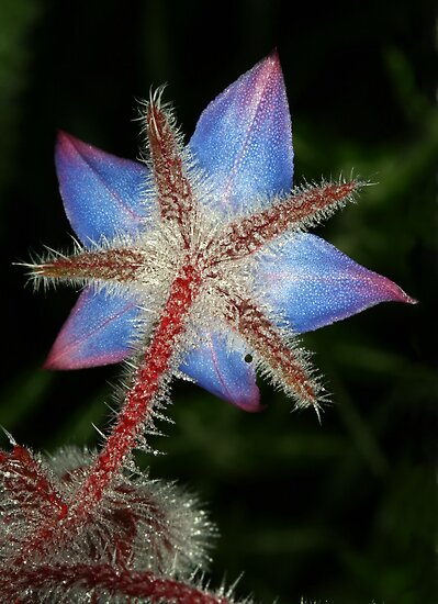 Borago officinalis by jimmy hoffman