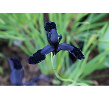 bejewelled black velvet-tipped petals Photographic Print