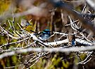Blue Wren Family Portrait by Andrew Dickman