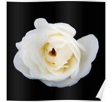 White rose. Poster