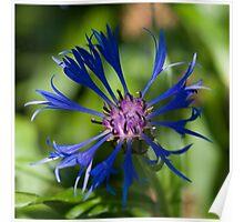 Blue flower in sunlight Poster