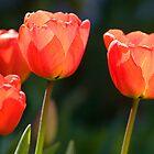 Tulips by Geoff Carpenter
