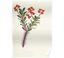 Familiar Flowers of India With Colored Plates, Lena Lowis 0109 Euphorbia Bojeri Poster
