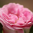 Pink Ruffles by Olivia Moore
