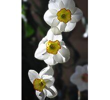 Daffodil Trio Photographic Print