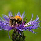 Bee on Flower by Ray Clarke