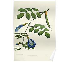 Familiar Flowers of India With Colored Plates, Lena Lowis 0053 Clitoria Ternatea Poster