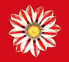 African Daisy / Gazania - Red and White Striped by Marymarice