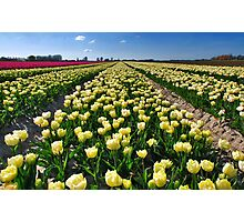 More tulips from Flakkee Photographic Print