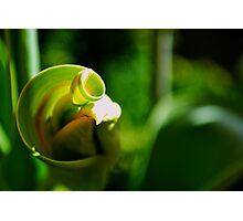 Tulip Spiral Photographic Print