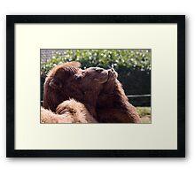 Loving Camels Framed Print