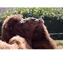 Loving Camels Photographic Print