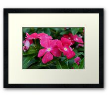 Hot Pink Periwinkle Framed Print