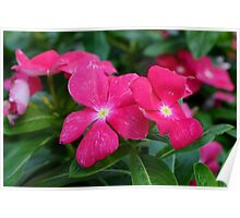 Hot Pink Periwinkle Poster