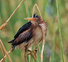 Green Heron by SuddenJim