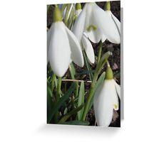Three Fresh Spring Snowdrops Greeting Card