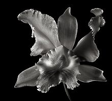 Catalea Orchid in Black and White by Endre