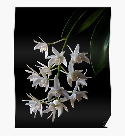 Little White Orchids Poster