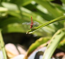Red Dragonfly by HellYeahKate