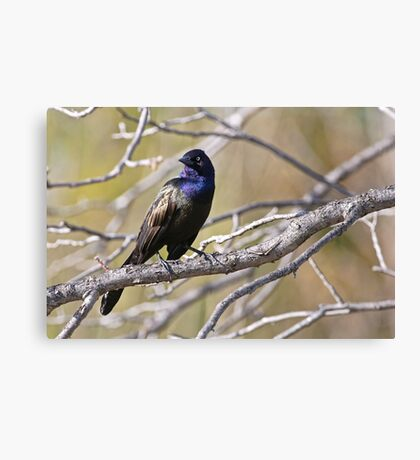 Common Grackle - Ottawa, Ontario Canvas Print