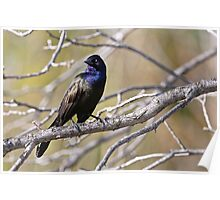 Common Grackle - Ottawa, Ontario Poster