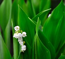 Lilly of the Valley by Corkle