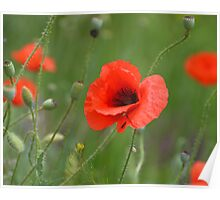 Red Poppy Close Poster