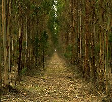 Eucalypt path... by TmacScapes