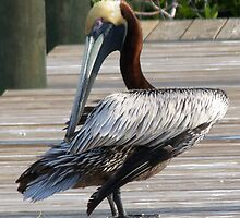 Pelican, Pine Island Florida by Tom Michael Thomas