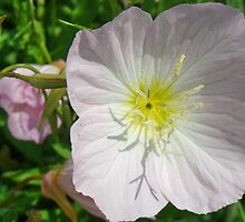 Evening Primrose by catherinemhowl