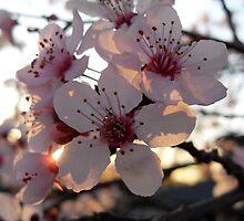 Pink Plum Blossom  by aciesnow