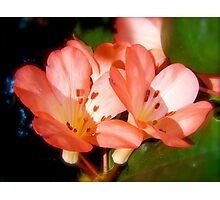 Apricot Delight. Photographic Print