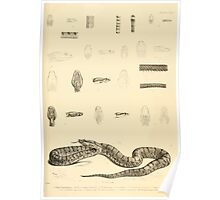 The Reptiles of British India by Albert C L G Gunther 1864 0527 Snakes Poster
