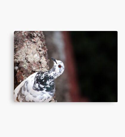 A curious Pigeon Canvas Print