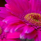 Pink Gerberas by Elana Bailey