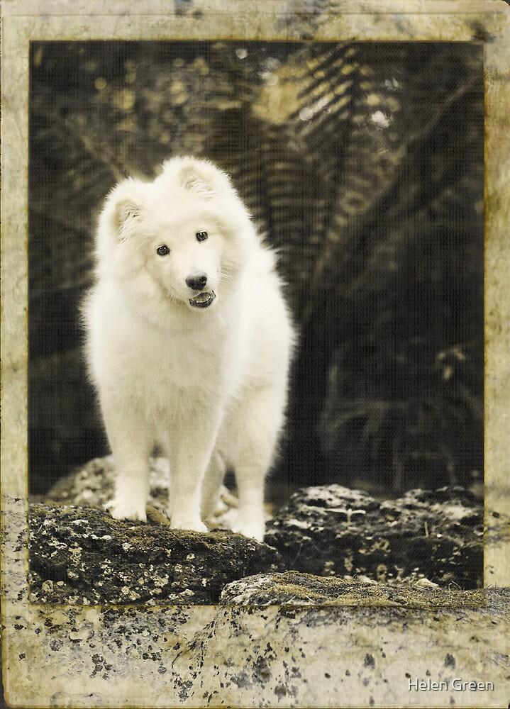 Vintage Finnish Lapphund Puppy by Helen Green