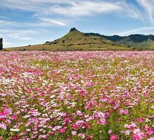 Field of Cosmos by Rob  Southey