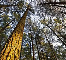1'st Light - Pine Forrest by Rob  Southey