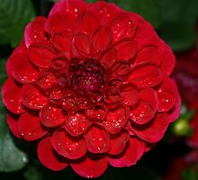 Dahlia Dew by Mike Jowsey