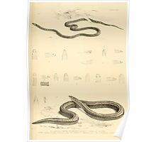 The Reptiles of British India by Albert C L G Gunther 1864 0515 Snakes Poster