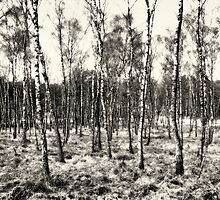 Birch by pther