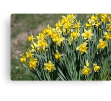 Spring Daffodils In Vermont Canvas Print