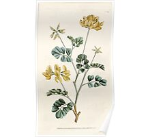 The Botanical magazine, or, Flower garden displayed by William Curtis V1 V2 1787 1789 0032 Cornilla Glauca, Sea Green, or Day Smelling Coronilla Poster