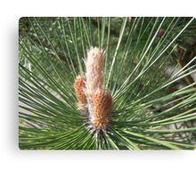baby Fir cone Canvas Print